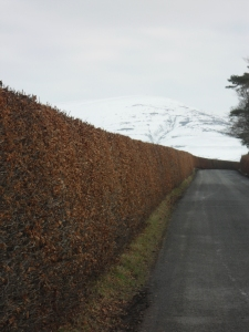 Beech Hedge
