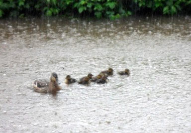 Wet ducks!