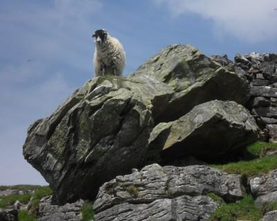 An erratic sheep.
