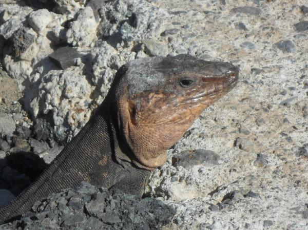Gran Canarian Giant Lizard.