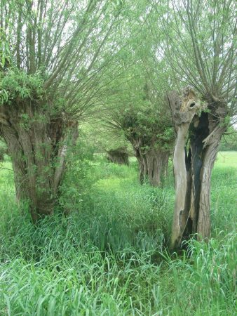 Ancient pollarded willows.
