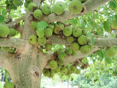 Ficus sycomorus.